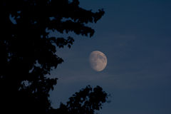 Waxing moon through aspen tree Royalty Free Stock Photography