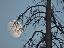 The eerie beauty of a waxing moon is a great back drop for this grand old snag. Stock Photo