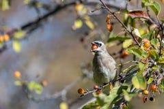 waxwing鸟的雪松 免版税库存图片