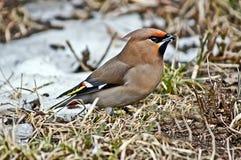 Waxwing воробьинообразной птицы. стоковые изображения rf