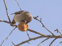 Waxwing есть яблоко стоковое изображение