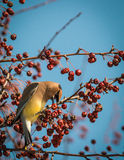 Waxwing кедра - cedrorum Bombycilla Стоковое Изображение