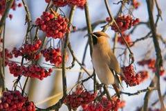 Waxwing на ветви пуков замороженных красных ягод рябины Стоковые Изображения RF