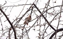 Waxwing на ветви с сухим яблоком Стоковое Фото