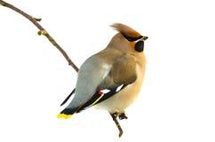 Waxwing птицы богемский (garrulus Bombycilla) Стоковое Изображение