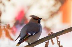 Waxwing птицы на ветви Стоковое Изображение