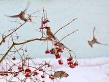 Waxwing птицы Стоковое Изображение RF