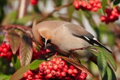 Waxwing Royalty Free Stock Photography