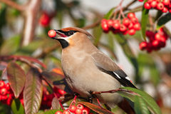 Waxwing photo stock