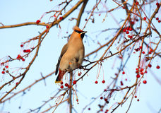Waxwing. Stock Photo