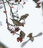 Waxwing Royalty Free Stock Photos