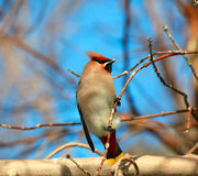 Waxwing. Stock Images
