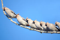 Waxwing Stock Photography