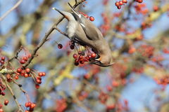 Waxwing. Foto de Stock Royalty Free