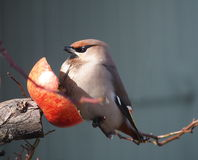 Waxwing with apple. Waxwing eating apple in a garden Royalty Free Stock Photos