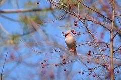 The Waxwing on Apple tree branch. Early spring. Siberia. royalty free stock images
