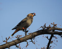 Waxwing and berries Royalty Free Stock Images