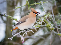 Waxwing with berry Stock Photos