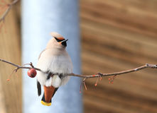 Waxwing with berry Royalty Free Stock Image