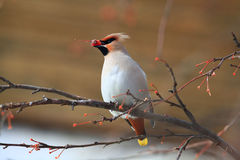 Waxwing with berry of mountain Royalty Free Stock Image