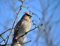 Waxwing bird Royalty Free Stock Images