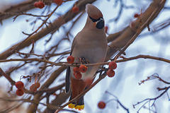 Waxwing bird apple branch Stock Photography