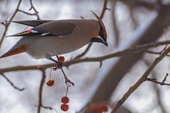 Waxwing bird apple branch Stock Photo