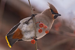 Waxwing bird apple branch Royalty Free Stock Photography