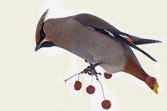 Waxwing bird apple branch Royalty Free Stock Image