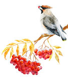 Waxwing bird and ashberry. Beautiful image with nice watercolor waxwing bird and ashberry Royalty Free Stock Photography
