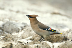 Attentive waxwing Royalty Free Stock Photo