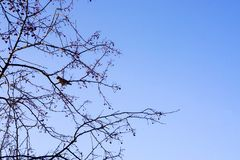 The waxwing bird sits on the branches of an apple tree, against the backdrop of a clean blue sky, wallpaper, background. Berries and apples, persisting until stock photos