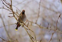 Waxwing boêmio do pássaro colorido que senta-se no ramo imagem de stock