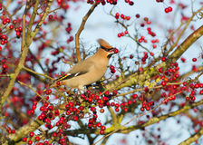 Waxwing (Bombycilla garrulus) Stock Photos