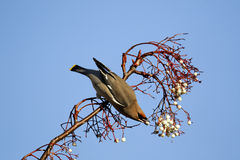 Waxwing, Bombycilla garrulus Stock Photo