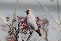 Waxwing, Bombycilla garrulus Royalty Free Stock Images