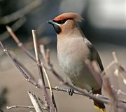 Waxwing on a branch. Alert cedar waxwing, sitting on a branch of a tree Royalty Free Stock Photos
