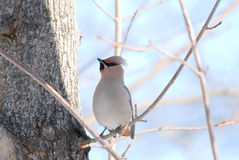 Bohemian Waxwing. Sitting on a branch Stock Photos