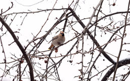 Waxwing on a branch with dry apple. Stock Photo