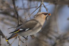 Waxwing. On the branch eats the fruit of an apple. The picture was taken in March 2018. royalty free stock images