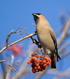Waxwing on branch of mountain ash Stock Photos