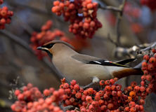 Waxwing on branch of mountain ash Royalty Free Stock Image