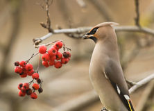 Waxwing. On branch of mountain ash Stock Image