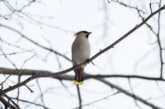 Waxwing on a branch Stock Photography