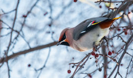 Waxwing Stock Photos