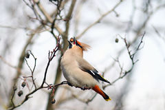 Waxwing on branches without Royalty Free Stock Photos