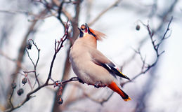 Waxwing on branches. Without leaves Stock Photography
