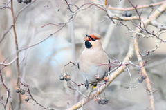 Waxwing on branches Royalty Free Stock Image