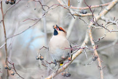 Waxwing on branches Royalty Free Stock Photo