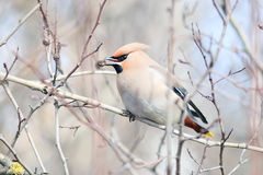 Waxwing on branches without leaves Royalty Free Stock Photography